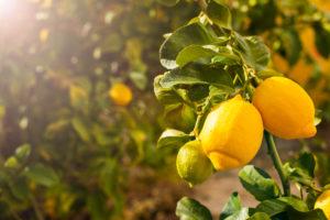 גיזום עץ לימון