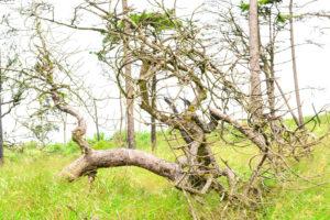 עקירת עץ